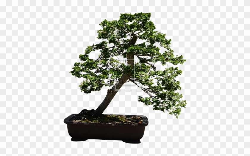 Parent Category - Bonsai Tree Transparent Background #407543