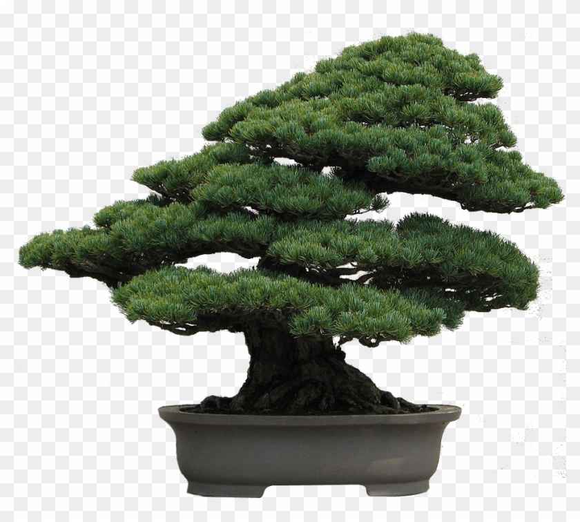 Image12 - Japanese White Pine Bonsai #407666