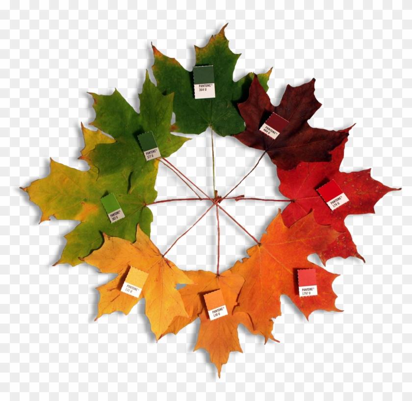 Autumn Leaves - Maple Leaf Color #419922