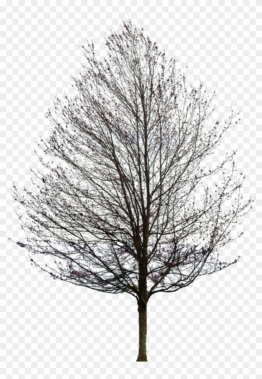Tree 50 Png By Gd08 - Maple Tree No Leaves #420436