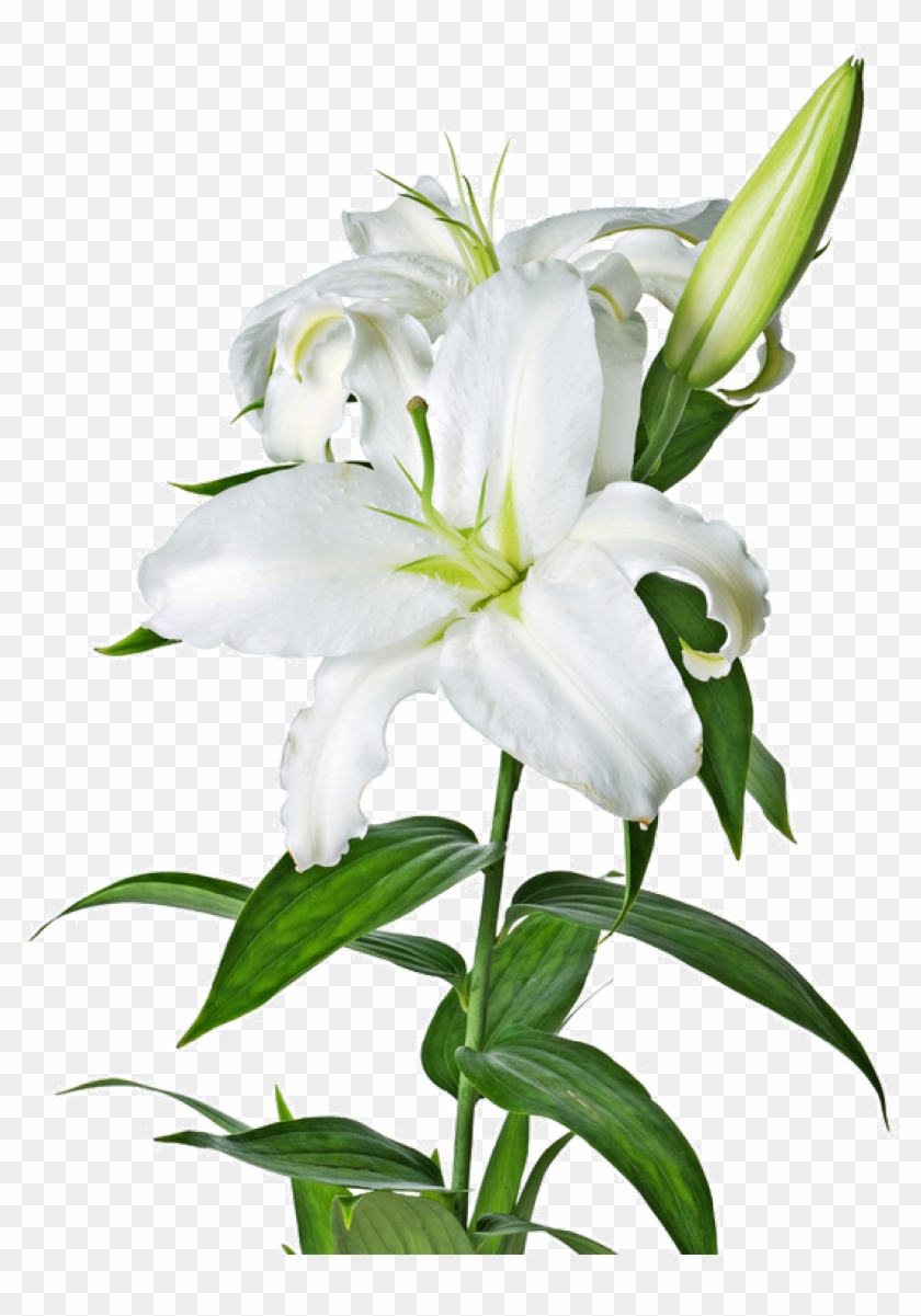 Lilys site white lilies white lilies with a transparent background lilys site white lilies white lilies with a transparent background izmirmasajfo