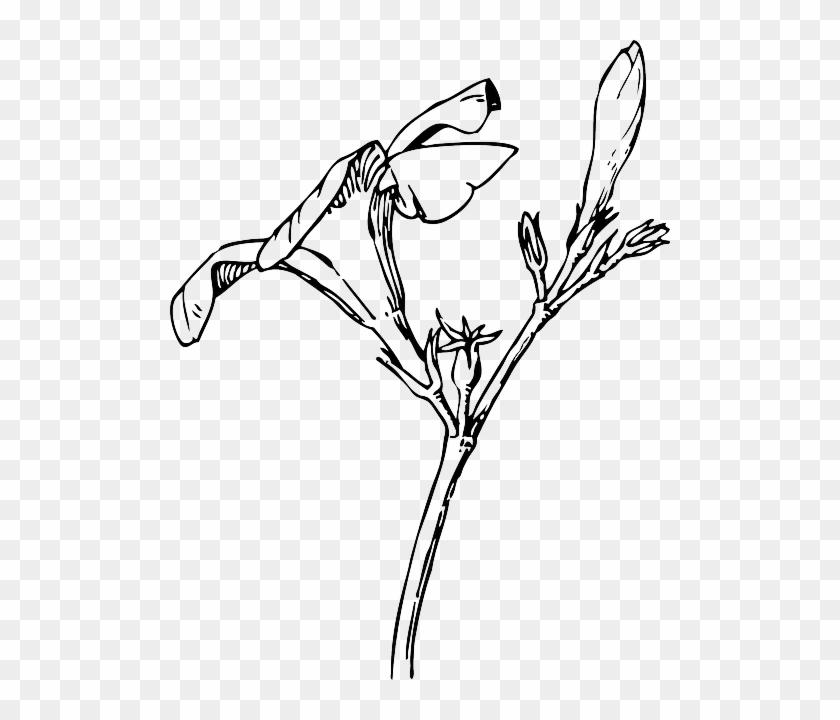 Black drawing plants tree flower white flowers white black drawing plants tree flower white flowers white oleander flower mightylinksfo