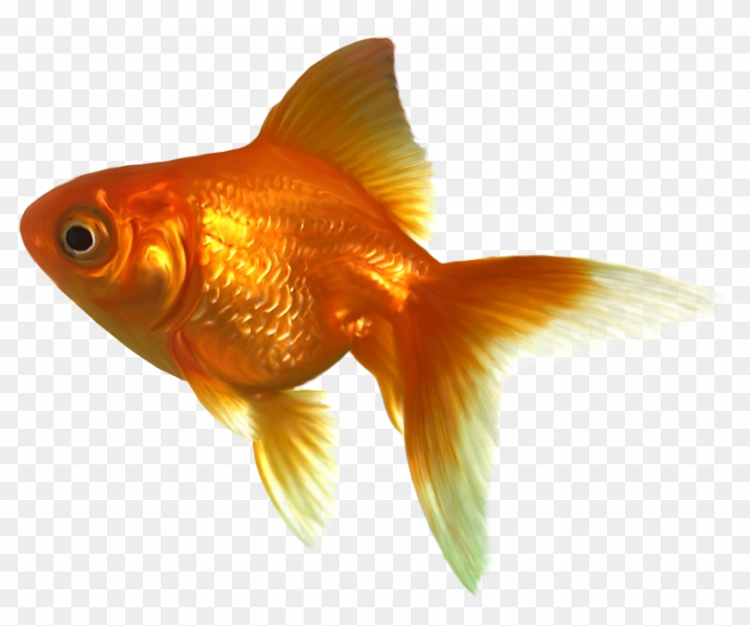 Gold Fish Clipart Golden Fish - Free Goldfish Clipart #422233