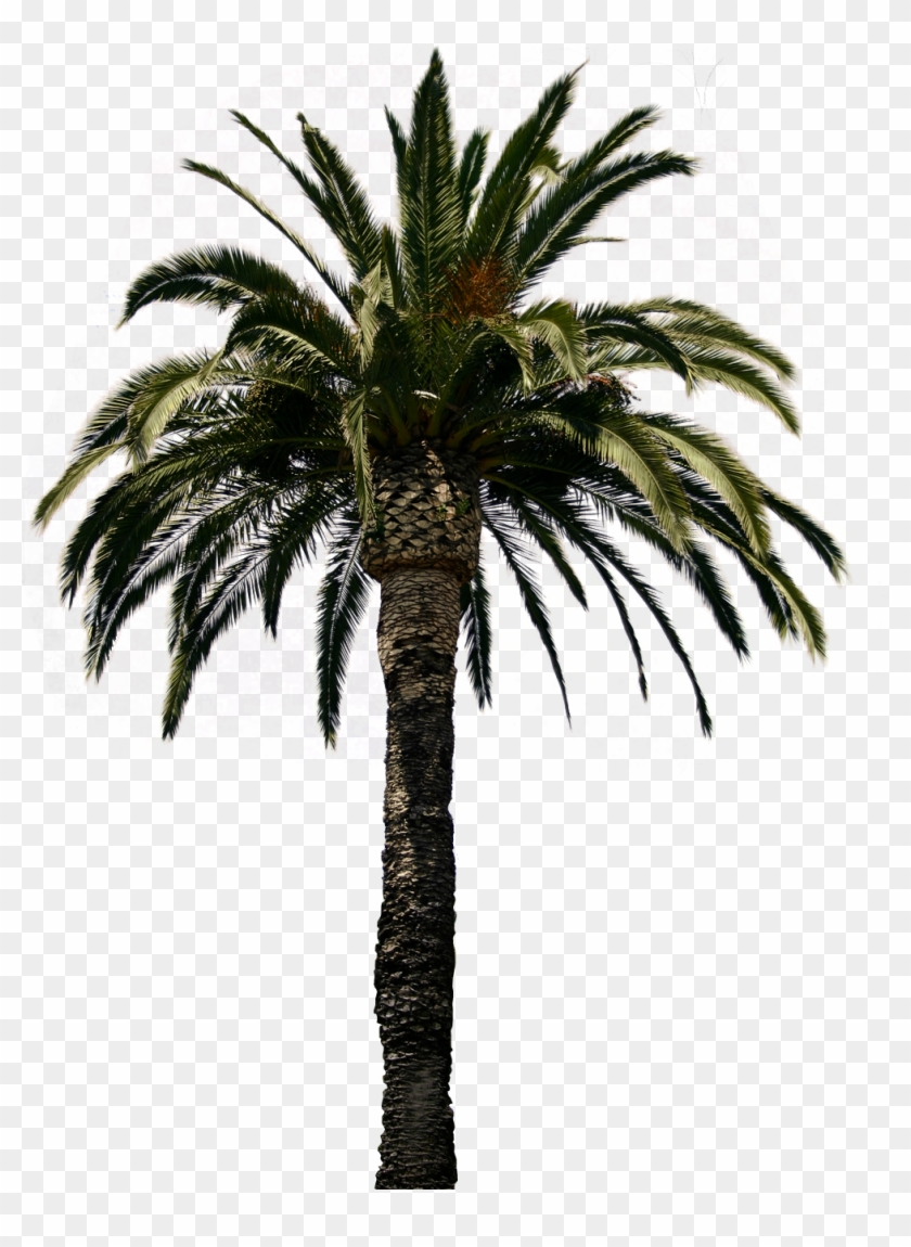 Amazing Clipart Palm Tree Collection Png With Palm - Date Palm Tree Psd #425132