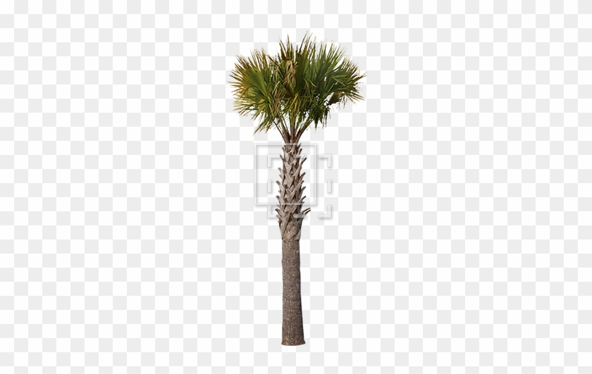 Gallery Of Sharp Palm Tree Parent Category Cutouts - Palm Trees #425138