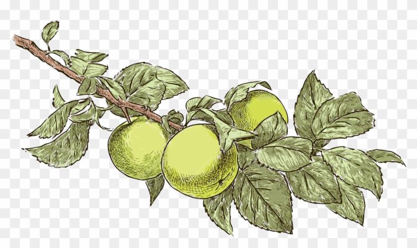 Bulgarian Apple Drawings Of Apple Trees Realistic Free