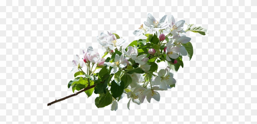 Apple Tree Branches Png Transparent #428583