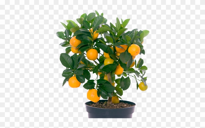 The Fleshy Part Can Be Removed From The Skin And Eaten - Orange Fruit Tree Png #428631