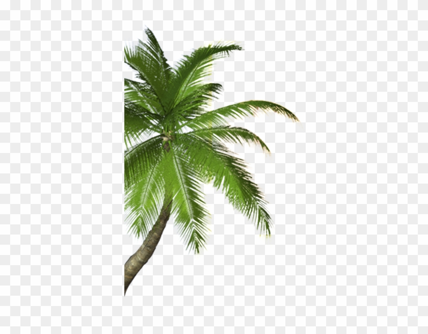 Real Coconut Tree Png #429239
