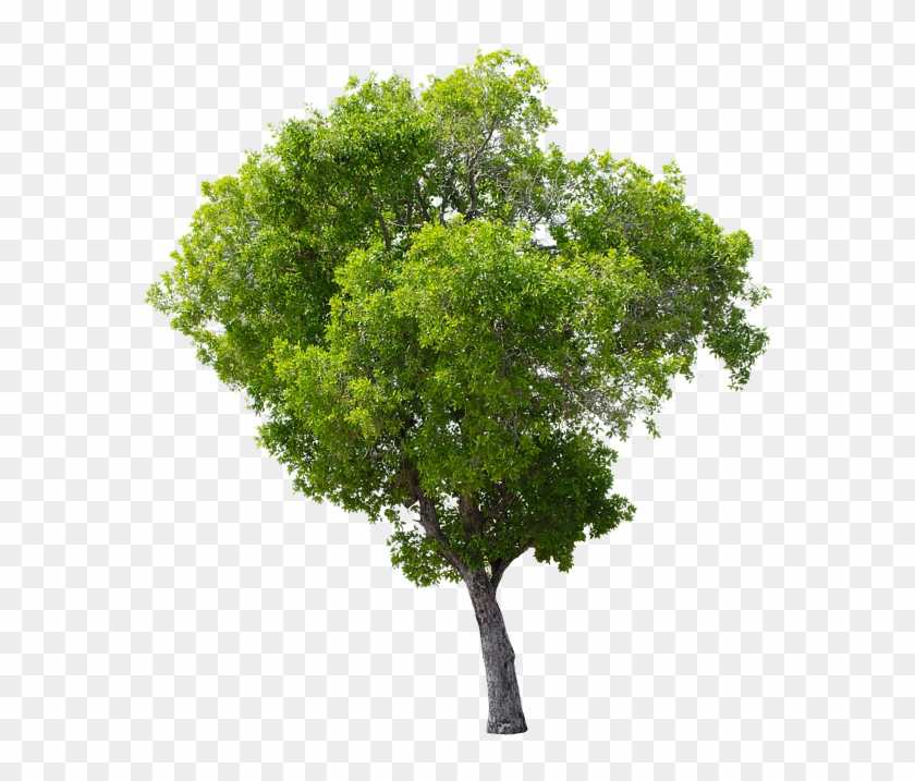 Tree, Green, Isolated, Garden, Forest, Decoration - Apple Tree Without Fruit #429625
