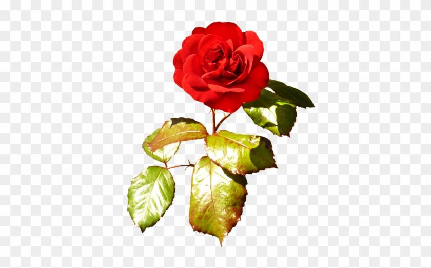 Red Red Valentine Rose Valentine Rose Png Free Transparent Png