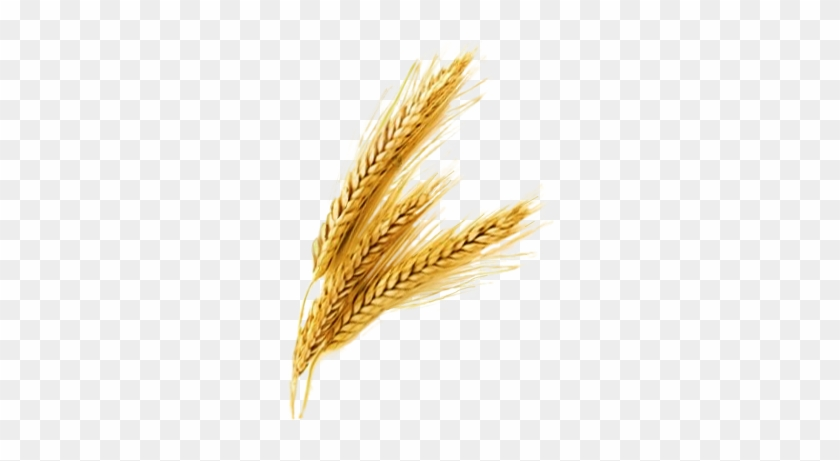 Je Rice Grain Vector Png - Wheat Png #434324