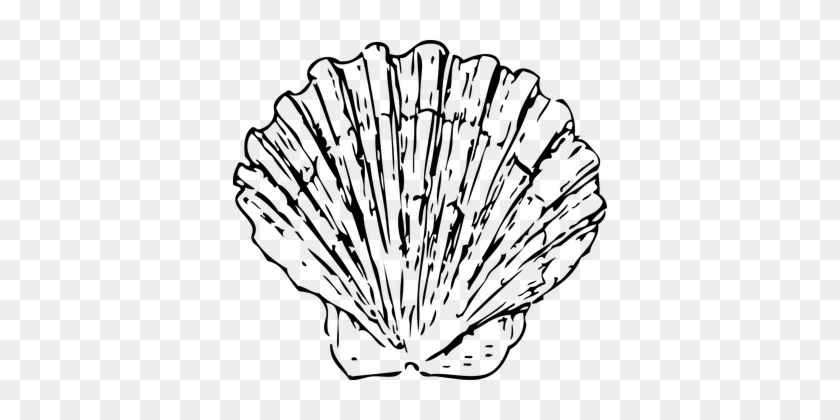 Scallop Shell Seashell Clam Marine Ocean A - Black And White Shell #435599
