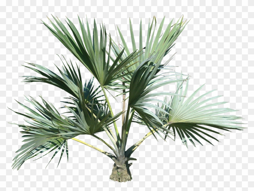 Palm Tree Eleven - Palm Tree Top Png #437660