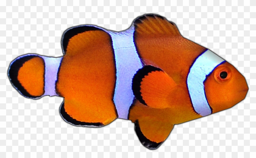 Percula Clownfish By Susan - Coral Reef Fish #438337