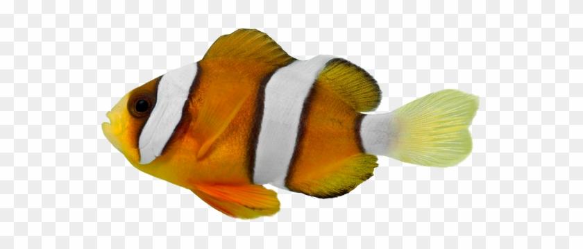 Clark Clown Fish - Stock Photography #438368