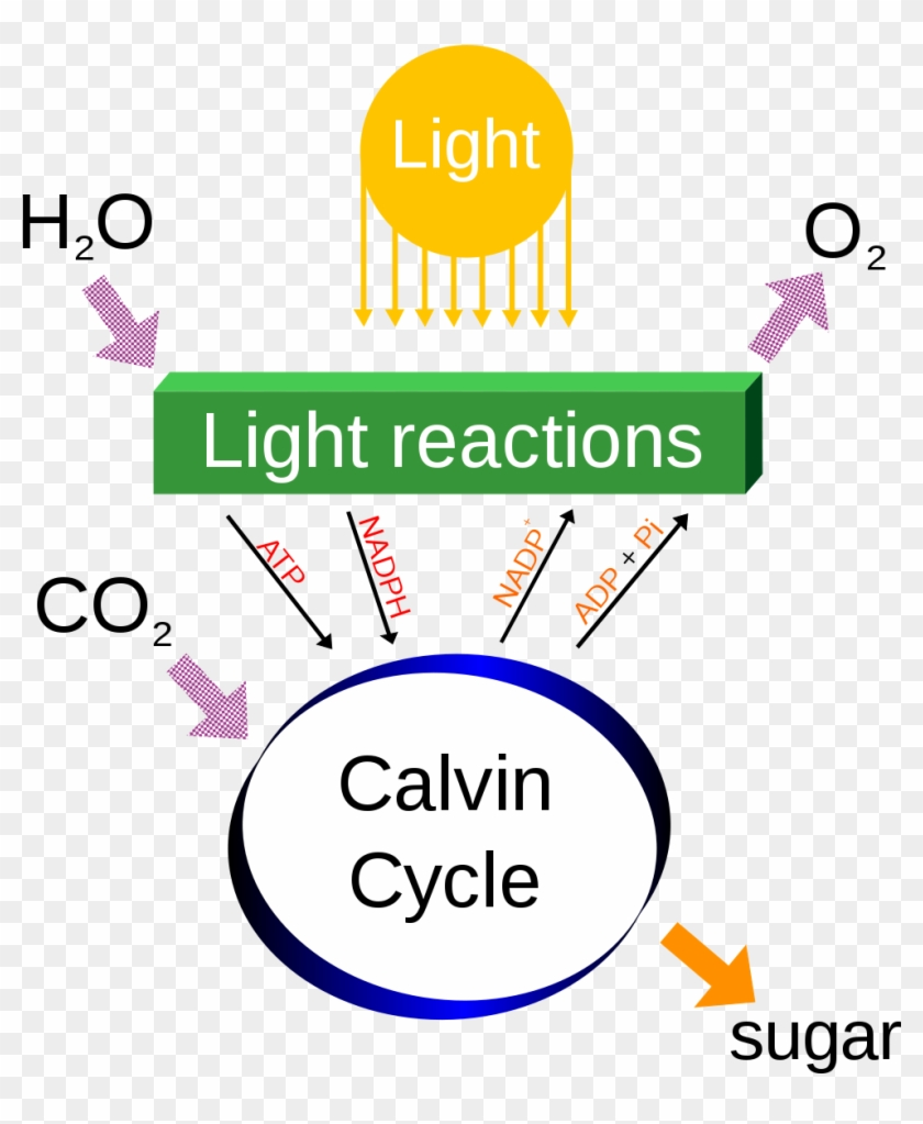 photosynthesis clipart - light dependent reactions definition - free