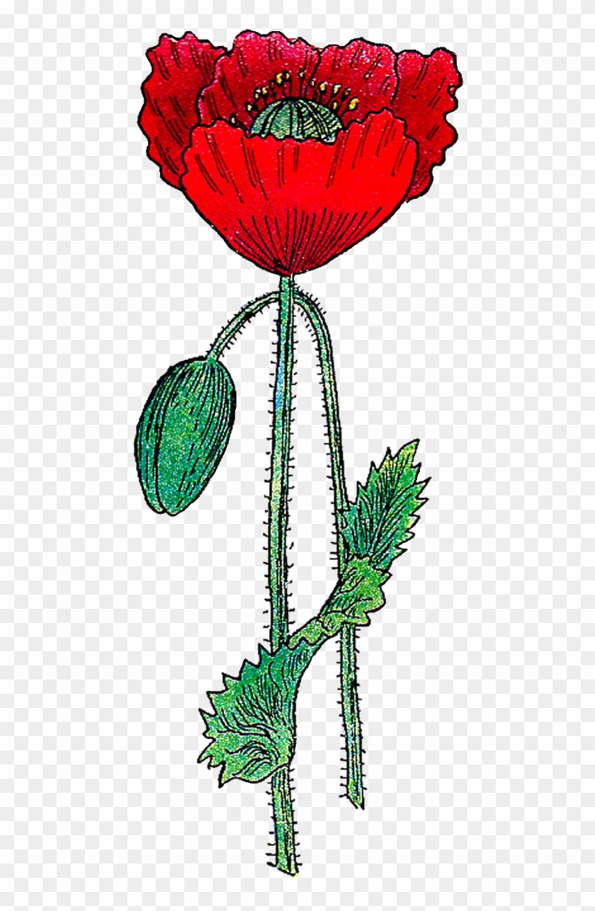This Is A Bright And Colorful Poppy Flower Graphic Clip Art Free