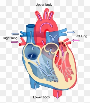The Direction Of Blood Flow Through The Heart - Direction ...