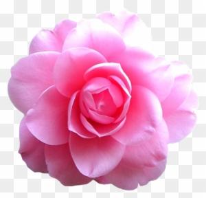 Transparent Flowers Tumblr Pink Free Transparent Png Clipart