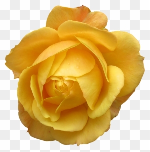 Single Yellow Rose Transparent Background Yellow Long Stem Roses