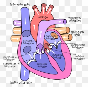 Diagram Of The Human Heart - Flow Of Blood Through The ...