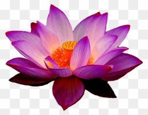 Nelumbo Nucifera Flor De Dibujo Clip Art Drawing Of Lotus Flower