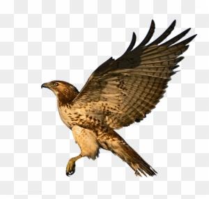 Harris Hawk Clipart Transparent Harris S Hawk Free Transparent