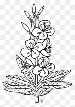Flower Outline Pictures Group - Stargazer Lily Coloring ...