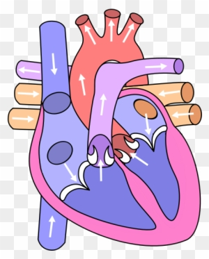 Circulatory System Drawing Kids - Circulatory System For ...