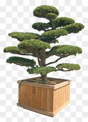 Pinus Penthaphylla Parviflora E Thunbergii Ilex Crenata Kinme Bonsai Free Transparent Png Clipart Images Download